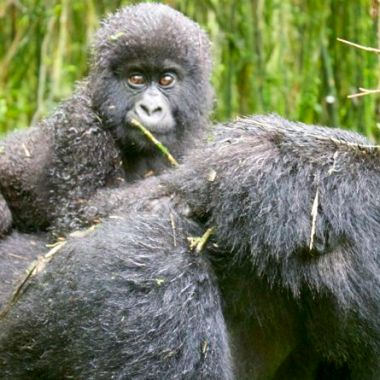 gorillas best mother and baby 27