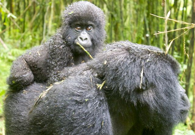 Mountain gorilla mother and baby in Volcanoes National Park, Rwanda