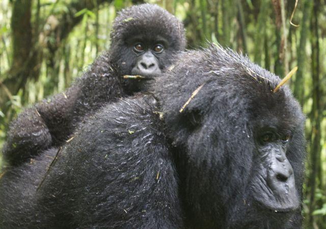 Mountain gorilla baby and mother in Virunga National Park, Rwanda