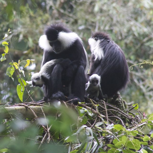 Mother and father colobus monkeys caring for 2 baby monkeys in Rwanda