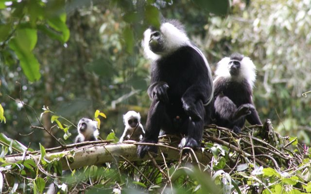 Two colobus baby monkeys playing together in Nyungwe Forest, Rwanda