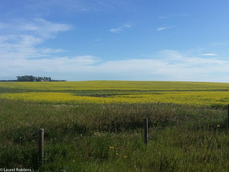 Canola fields near Drumheller, Alerta