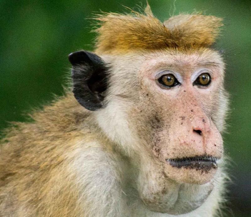 Toque macaque a native monkey species to Sri Lanka