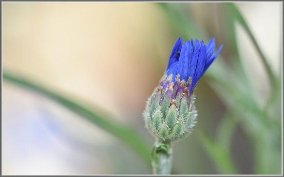 fleur bleu presque éclose photographie