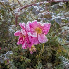 blooming rose flower freezing in winter