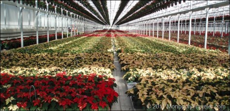 Poinsettias Almost Ready!