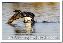 Loon on take off
