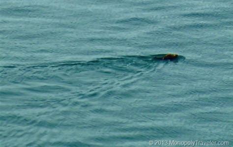 Sea Otter Swimming By