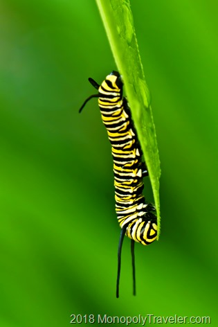 Another monarch caterpillar