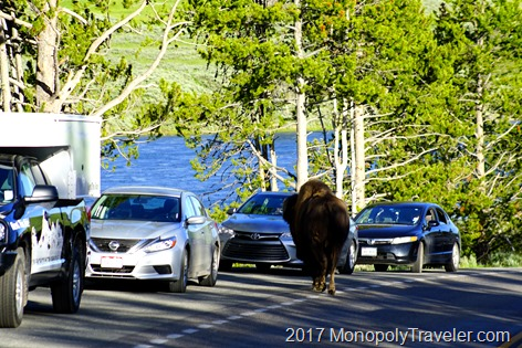 Bison checking out our car