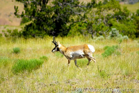 A Pronghorn Antelope