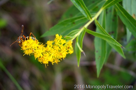 A bee pollinating goldenrod