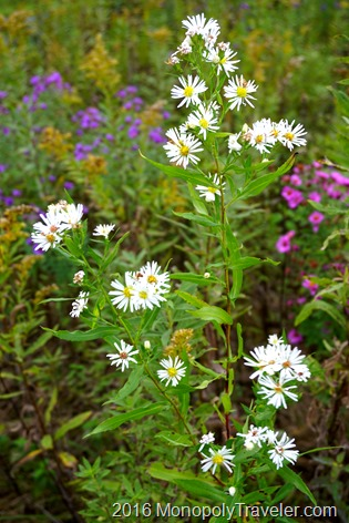 White Asters
