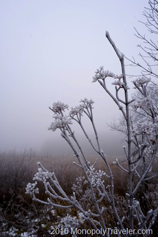 Thick, frost covered branches