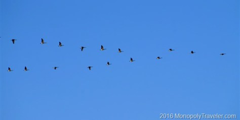 Geese migrating north