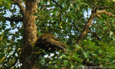 A Porcupine Sleeping High Above