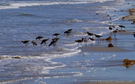 Birds combing the beach in search of their next snack