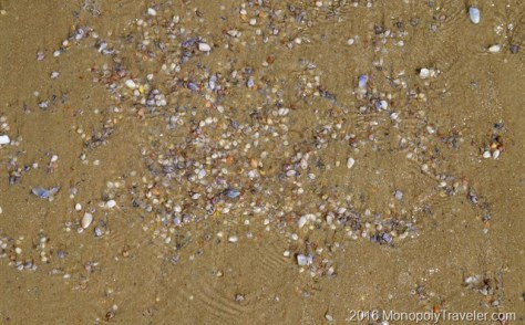 Thousands of clams lying just under the surface of the sand