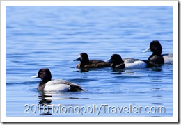 Lesser Scaup ducks