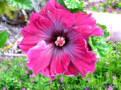 A stunning hibiscus which can be found growing all over Oahu