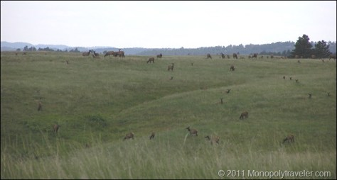 A Herd of Elk Lazily Grazing in the Afternoon Sun