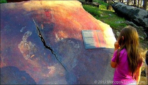 Learning About These Giant Redwoods