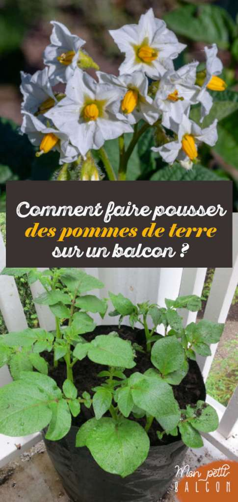 conseil faire pousser pomme de terre su balcon en pot ou sac | Mon petit balcon