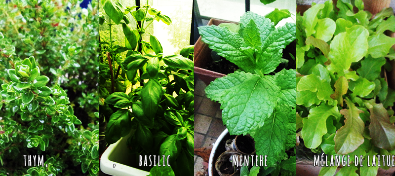 Classification type de plantes potager sur balcon (aromatiques, fleurs, légumes)