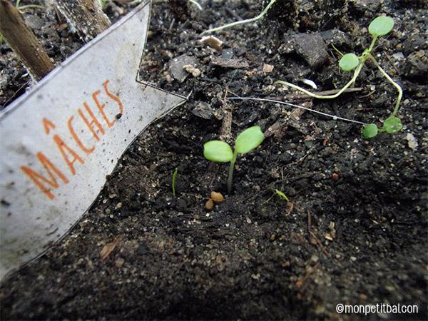 calendrier de l'avent 2015 par mon petit balcon jour 18 - la semis, la culture et la récolte de la mâche sur un balcon potager