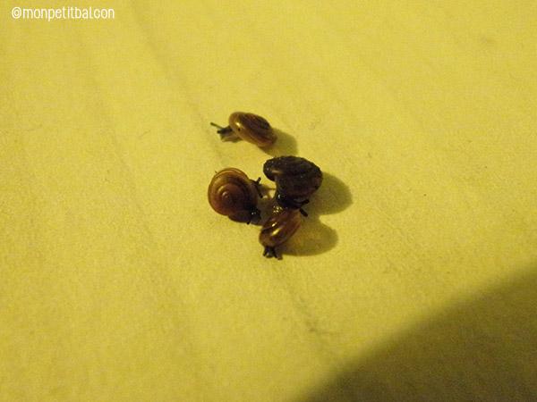 escargot potager
