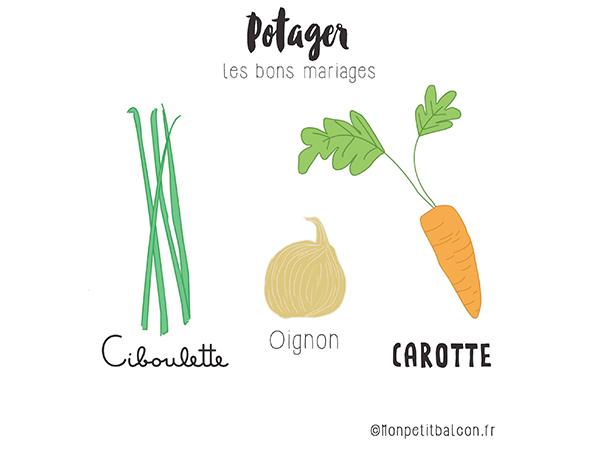plantes compagnes au potager : ciboulette, oignon, carotte pour éloigner la mouche de la carotte