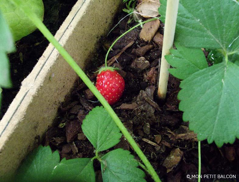 Carr de fraise en cagette plantation et explications co d fi mon petit balcon - Fraisier plante en pot ...