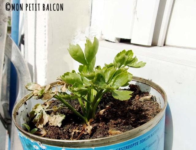 regrowing celeri potager sur balcon