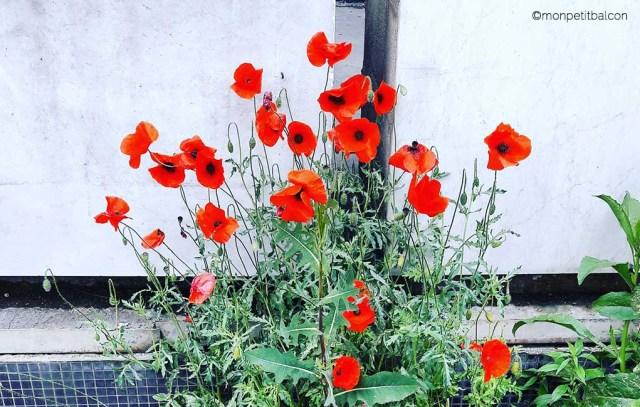 Semis d'automne au potager sur balcon : la fleur comestible de coquelicot simple rouge