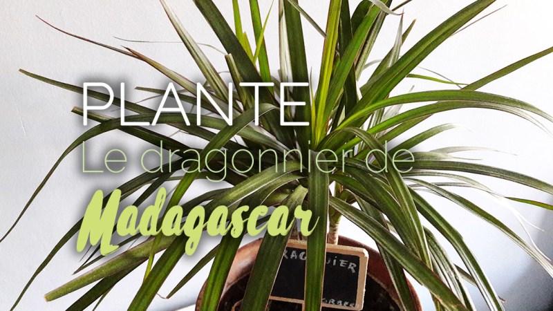 Dragonnier de Madagascar plante dépolluante d'intérieur (dracanea marginata)