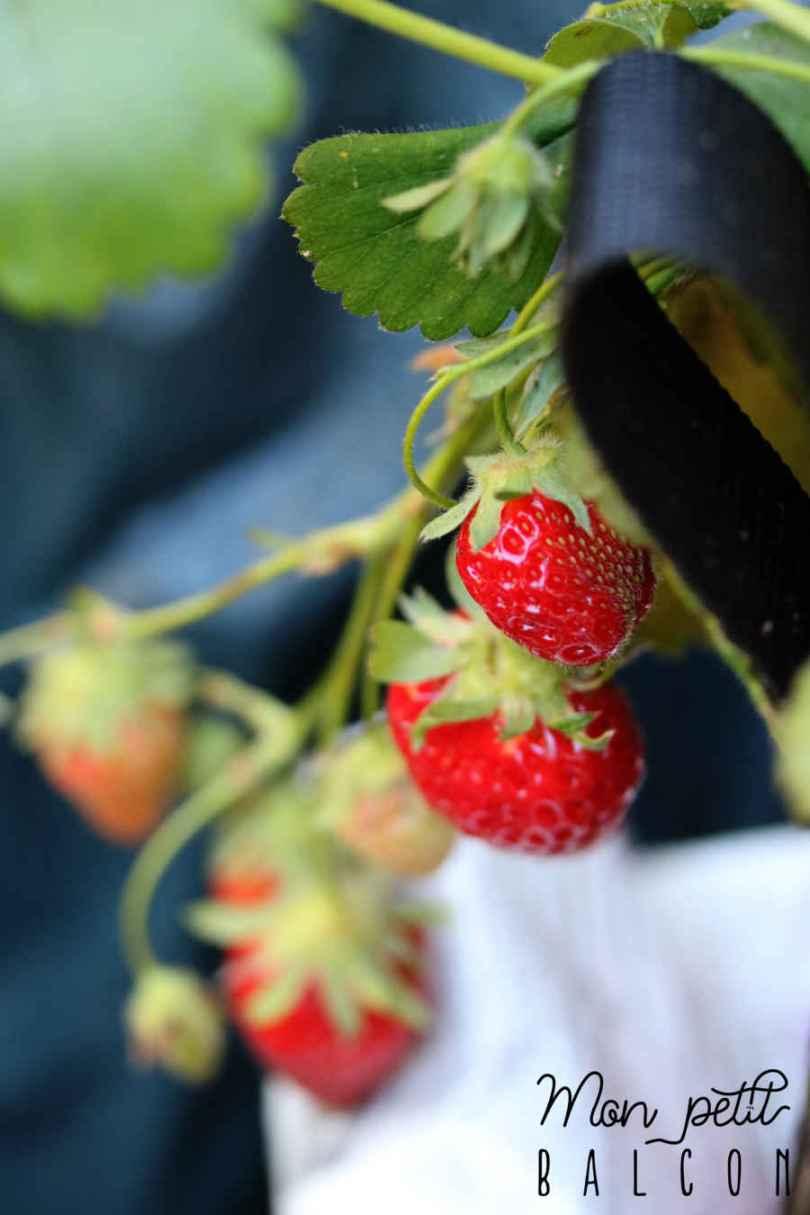 faire pousser des fraisiers en juin avec la lune dans un potager sur balcon | Mon petit balcon