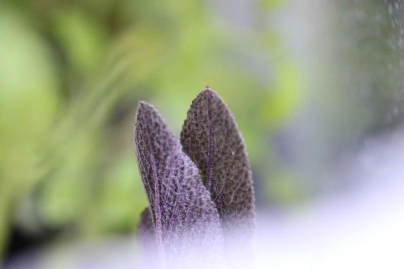 bouture de sauge pourpre à planter facilement sur le balcon, dans un pot ou une jardinière en ville