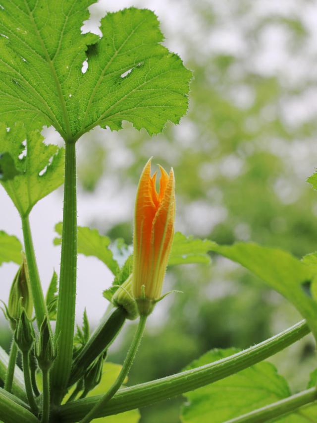 fleur de courgette mâle et femelle sur une balcon dans une jardinière