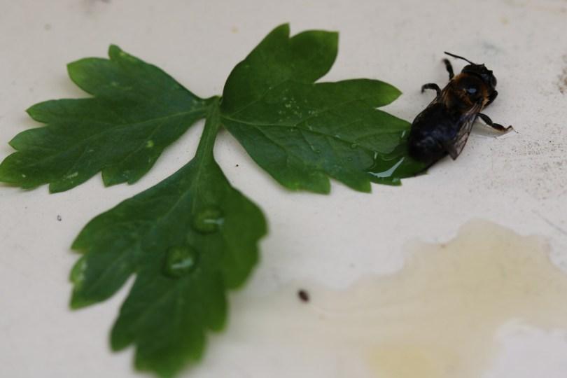 comment sauver une abeille blessée, en lui donnant du miel mélangé à de l'eau | Mon petit balcon