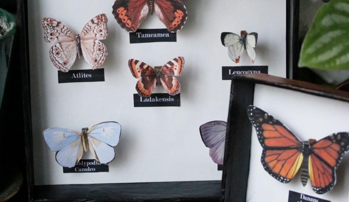 DIY cabinet de curiosités récup : encadrer des papillons en papier
