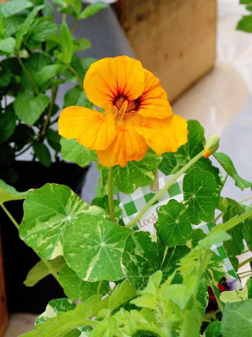 capucine panaché, une fleur comestible aux pétales oranges à faire pousser sur un balcon / Mon petit balcon