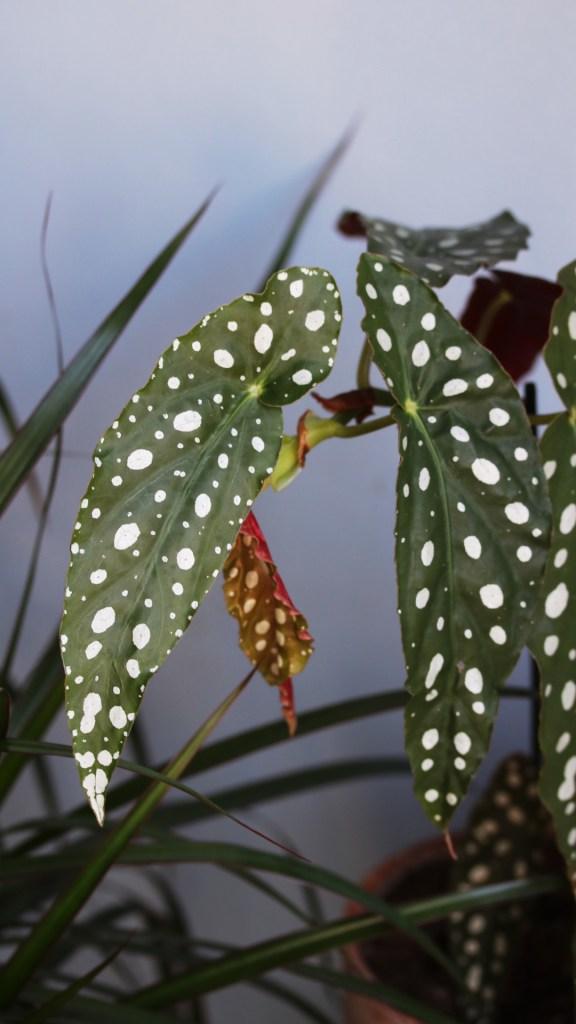 conseil jardinage débutant plante d'intérieur, urban jungle : begonia maculata | Mon petit balcon