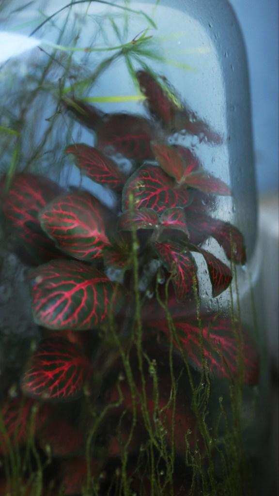 conseil jardinage débutant plante d'intérieur, urban jungle : fittonia rouge et vert dans un terrarium installé au sol dans le salon près de la fenêtre | Mon petit balcon