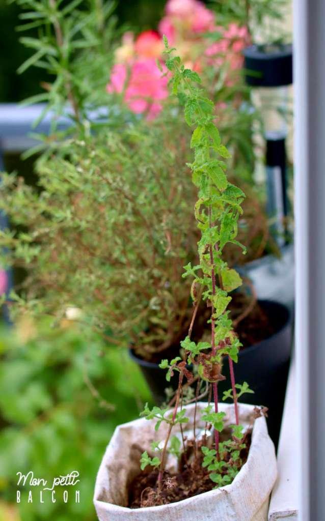 plante de menthe ananas sur rebord de fenêtre balcon sans un sac à café