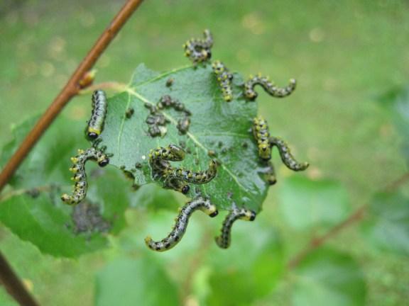 larves de tenthrede sur rosier
