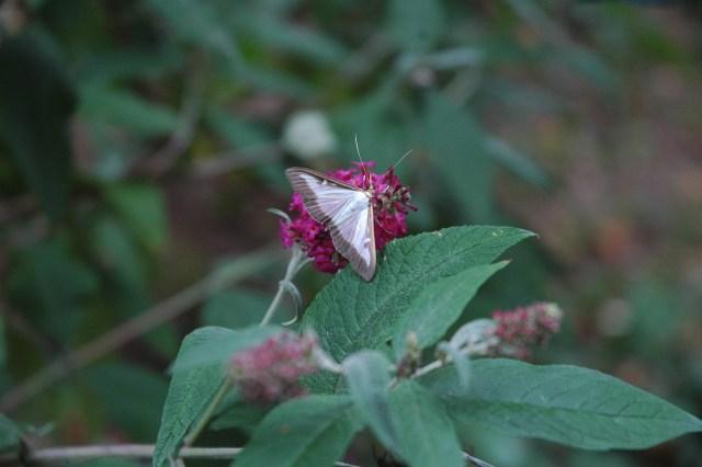 pyrale du buis papillon