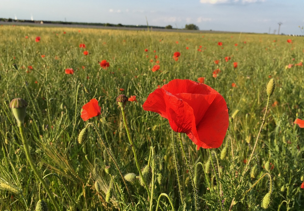coquelicot red poppy