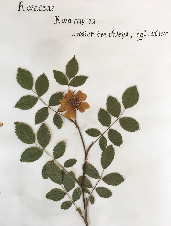 herbier eglantier