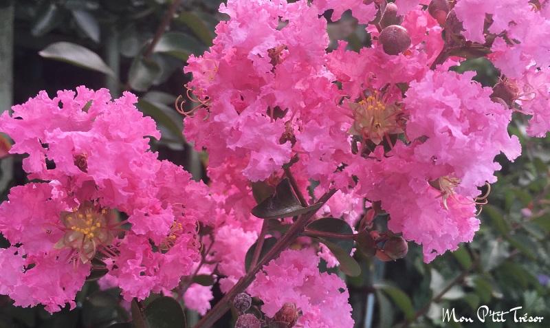 magnifique lilas d'été
