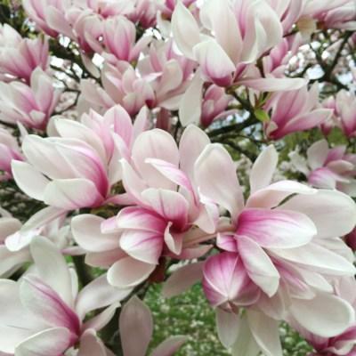 Admirer les magnolias